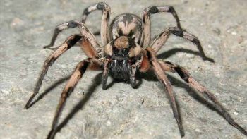 New spider species named after 'Harry Potter' arachnid