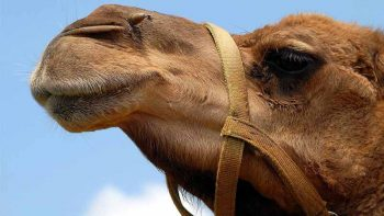 Camels sold for millions at Adihex
