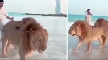 Video: Lions roam Dubai beach