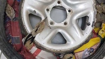 12 endangered birds smuggled into UAE in tyre