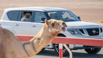 Sheikh Mohamed Bin Zayed spotted at camel race